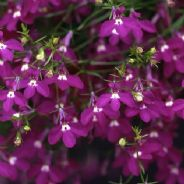 Lobelia Fountain Crimson - Appx 25,000 seeds